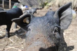 Schwein vom Untermühlbachhof